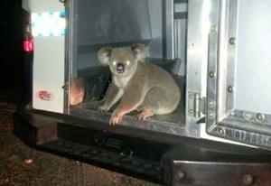 コアラが護送車に