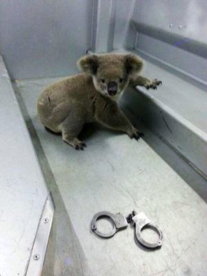 逮捕?されたコアラ